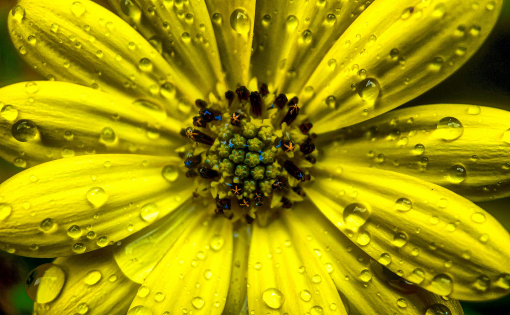 Vibrant colors coming even more to live after the rain. Close up of the drops on a yellow flower, shot on iPhone X with Moment Macro lens.
