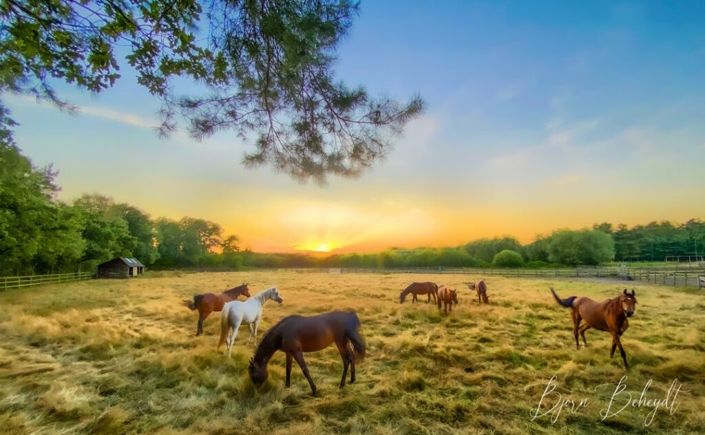 Lovely playful horses in a field between the woods, against a dreamy sunset.